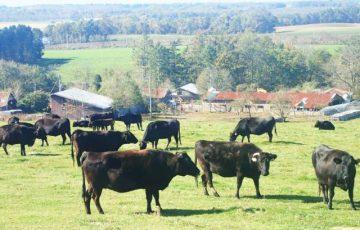 過剰な穀物と抗生物質で育つ牛