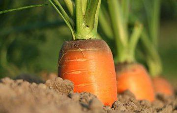 大地のミネラルを吸収した野菜
